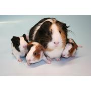Breeding diet for guinea pigs high protein
