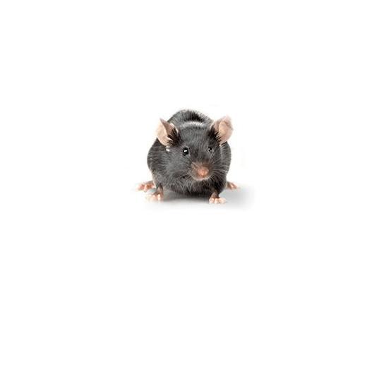 Black_Swiss_Mouse_417x235_0.jpg