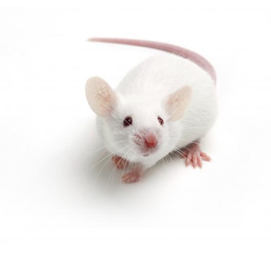 BALBc mouse